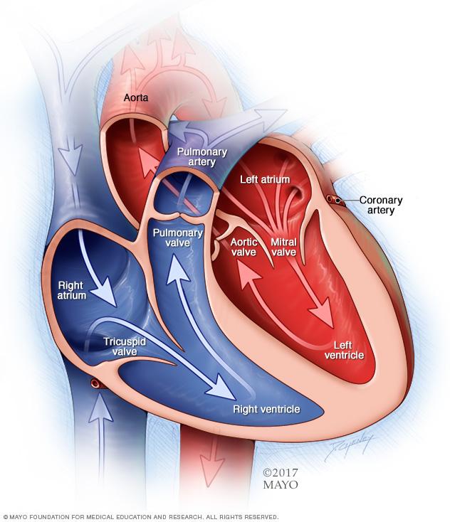 Kammern und Herzklappen