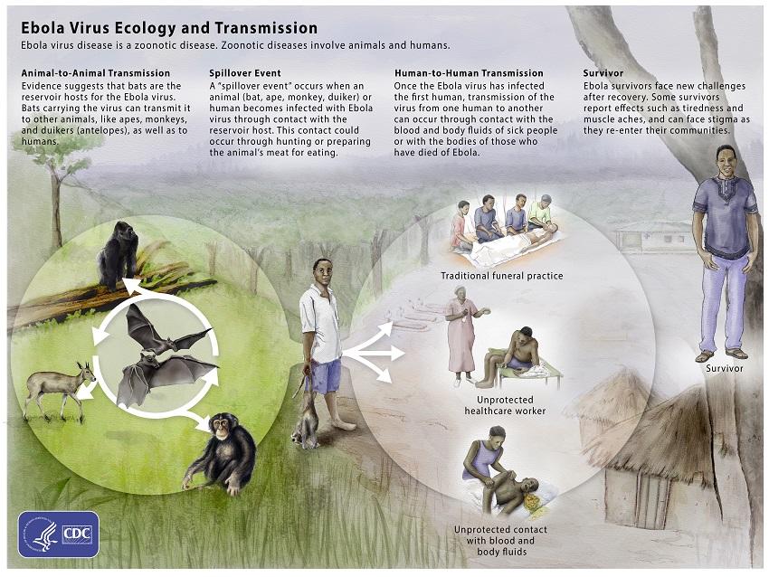 Übertragung des Ebola-Virus